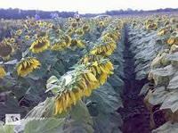 Семена подсолнечника СИ Фламенко