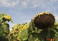 Семена подсолнечника Аризона