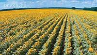 Семена подсолнечника ЛГ 5582