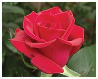"""Саженцы роз """"Черри Лав"""", фото 1"""