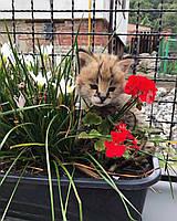Мальчик 11.08.18. Котёнок Сервал, питомник Royal Cats