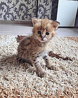 Девочка 11.08.18. Котёнок Сервал, питомник Royal Cats