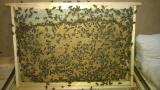 Пчелинные матки карпатка 2017