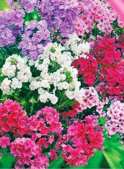 Флокс крупноцветковый (имп.), фото 2