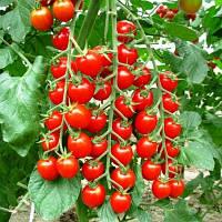 Семена томата черри  Сакура F1 (250 сем. )