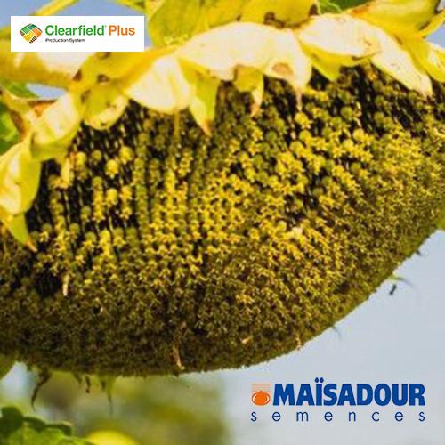 Насіння соняшнику Mas 86.CР ( Maisadour semences )