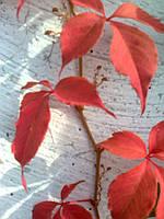 Девичий виноград пятилисточковый, или виноград виргинский — Parthenocissus quinquefolia , фото 1