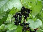 Смородина черная лист
