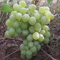 Саджанці винограду Біле диво  (Белое Чудо, OV-6-пк, Песня)