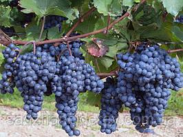 Саджанці винограду Ізабелла Банська (на вино,кампот,сік)