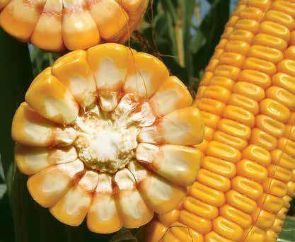 Насіння кукурудзи ЛГ 30288   LG 30.288   ФАО 260 від Лімагрейн