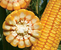 Насіння кукурудзи ЛГ 30288 | LG 30.288 | ФАО 260 від Лімагрейн