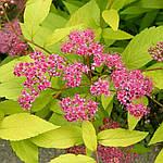 """Таволга японская, Spiraea japonica """"Golden Princess"""", 40 см, фото 3"""