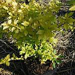 """Таволга японская, Spiraea japonica """"Golden Princess"""", 40 см, фото 2"""