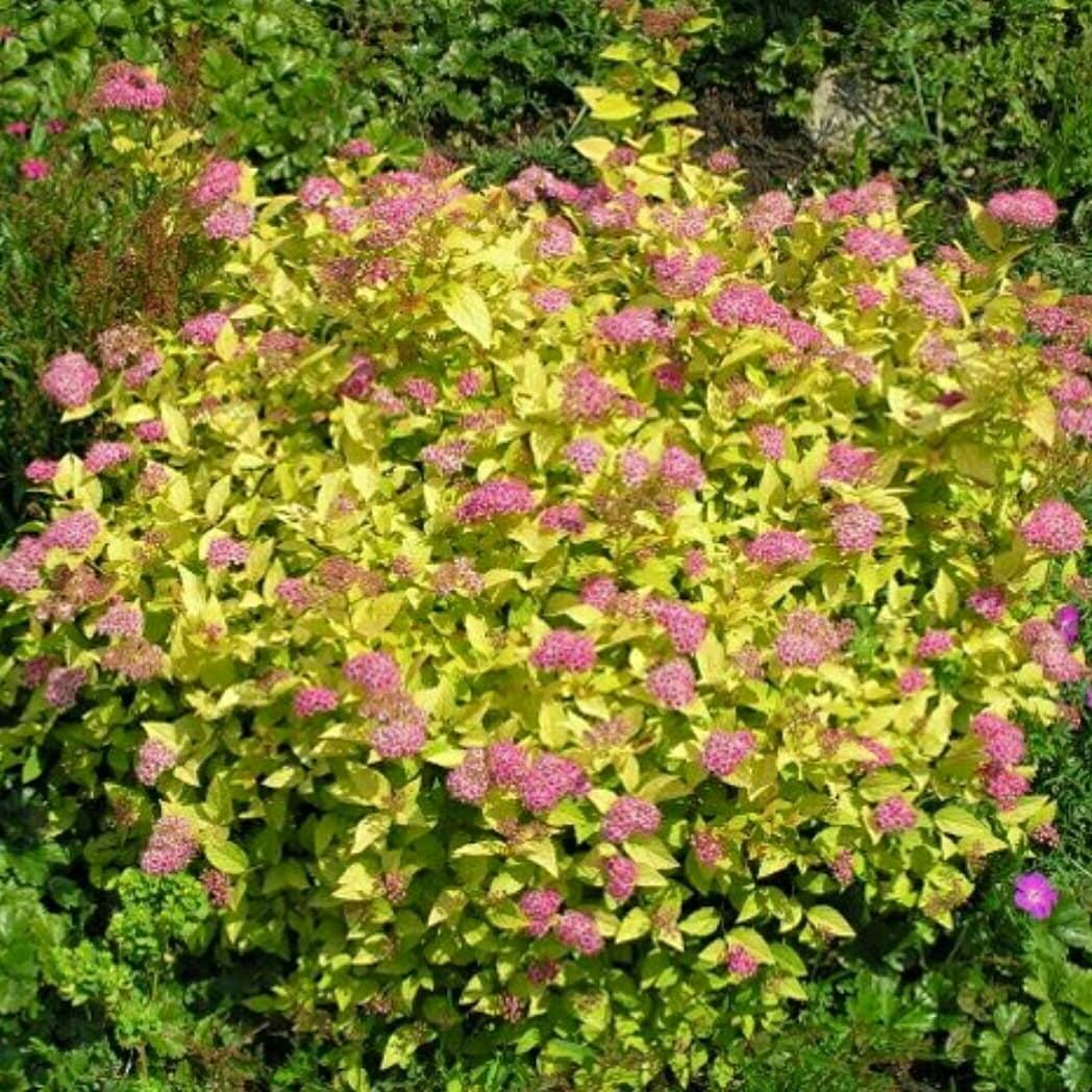 """Таволга японская, Spiraea japonica """"Golden Princess"""", 40 см"""