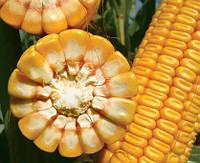 Насіння кукурудзи Джоді | Jodie | ФАО 380 від Лімагрейн