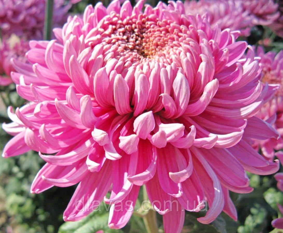 Хризантема крупноцветковая срезочная Викинг