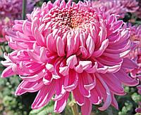 Хризантема крупноцветковая срезочная Викинг, фото 1