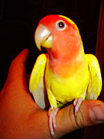 Неразлучник попугай Розовощекий желтый
