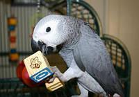 Ручные выкормыши попугаи Жако.Psittacus erithacus.