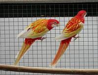 Розелла рубиновая попугай  (Platycercus elegans), фото 1