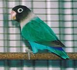 Неразлучник Масковый попугай синего окраса (Agapornis personatus), фото 2