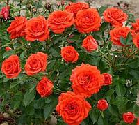 Роза спрей Апельсин, фото 1