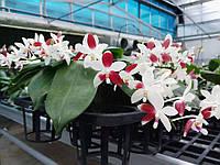 Подростки орхидеи. Сорт Tetraspis C1, размер 1.7 без цветов, фото 1