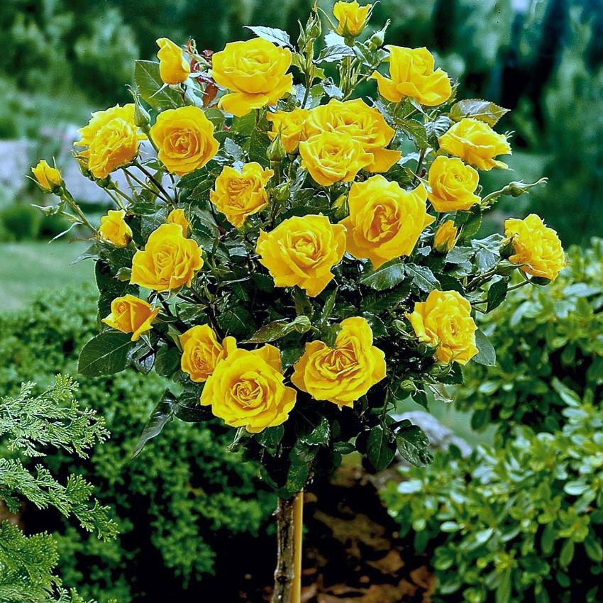 Роза штамбова Landora