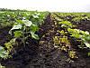 Семена подсолнечника гибрид Антей + (под гранстар), фото 3