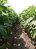 Семена подсолнечника гибрид Антей + (под гранстар), фото 2