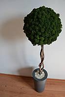 Велике стабілізоване дерево у бетонній вазі 100 см, фото 1