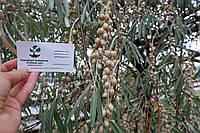 Семена дикой маслины (10 штук) лох серебристый косточка для саженцев Elaeagnus commutata, насіння