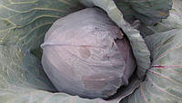 Семена капусты Краснокачанная Лангедейкер 1 кг ,Польша