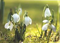 Фотообои, весна, подснежники,  ПРЕСТИЖ №12  272смХ196см