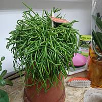 Горшечное растение Репсалис