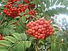 Саженцы рябины, граба, клена, липы, черёмухи, ели, сосны, берёзы, дуба красного, можжевельника высотой 0, 5 -