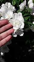 Саджанці жасмину махрового Вірджинал, фото 1
