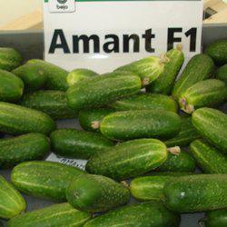 Семена огурца Амант F1 (1000 сем.)