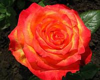 Саженцы роз Солнышко