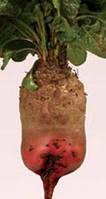 Семена свеклы кормовой Рекорд Поли   0,5 кг  (Польша)