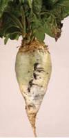 Семена свеклы кормовой Центаур Поли  1 кг  (Польша)