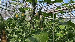 Огурцы в теплице – что нужно знать для сбора богатого урожая