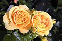 Роза Кэндллайт (Candlelight) Ч/Г, фото 2