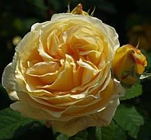 Роза Кэндллайт (Candlelight) Ч/Г, фото 3