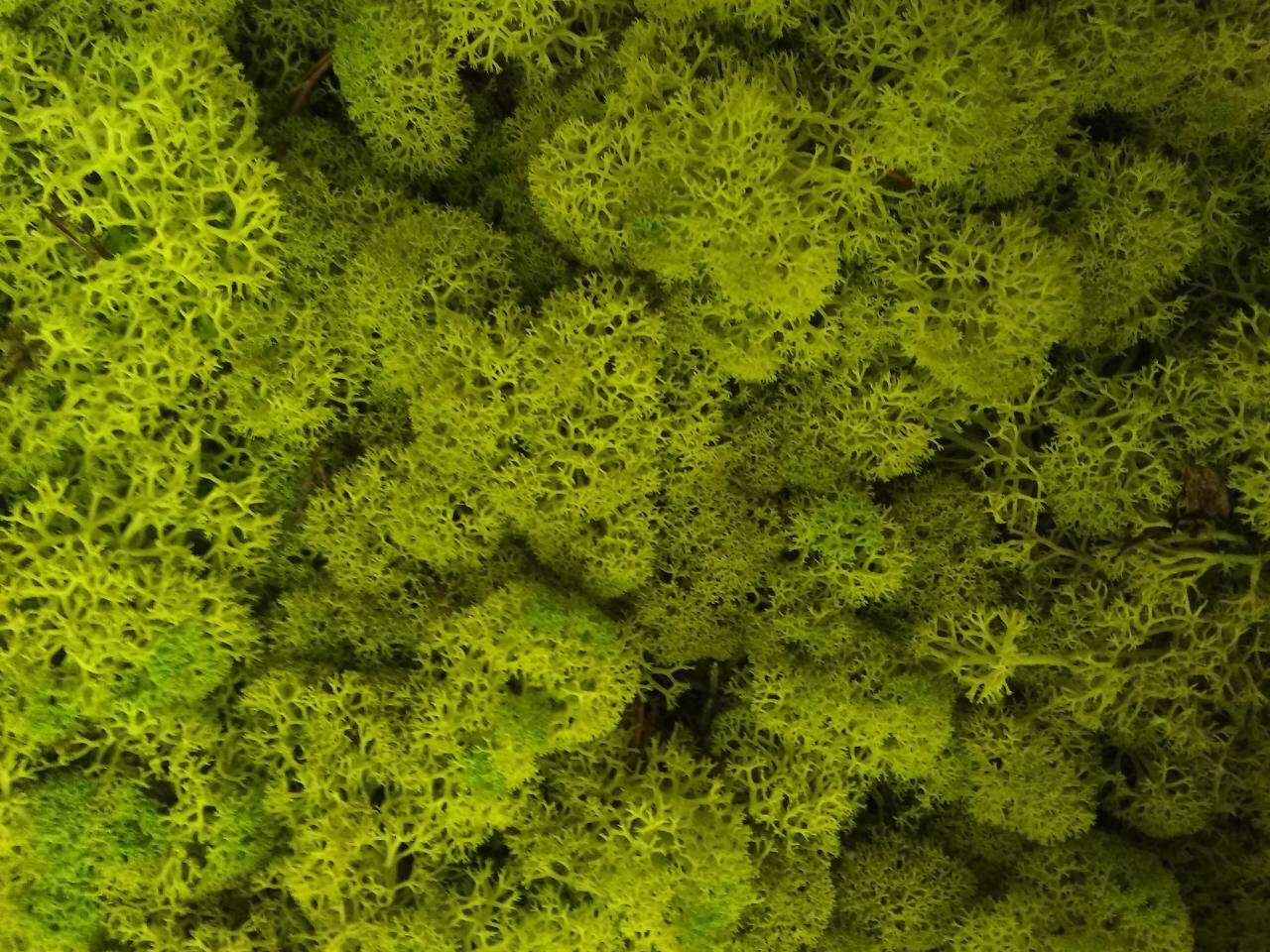 Стабилизированный мох оптом для фитостен  Spring Norske Moseprodukter AS