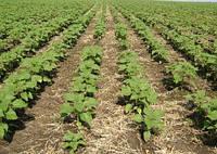 Технологии выращивания гибридов подсолнечника под Гранстар и Евролайтинг