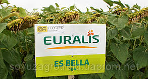 Белла ЕС (A-G+) семена подсолнечника Euralis Semences