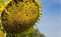 Насіння соняшнику Mas 85.SU ( Maisadour Semences)