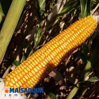 Насіння кукурудзи Mas 12.R  ФАО 180 ( Maisadour Semences)